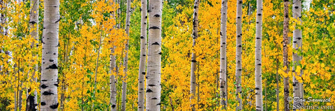 a yellow and green fall aspen grove