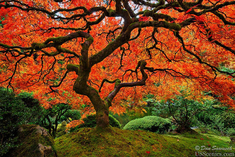 A orange and red Japanese Maple tree in fall at the Portland Japanese Garden in Portland, Oregon