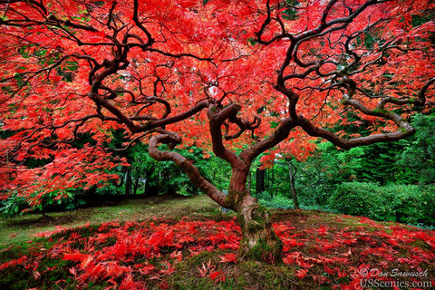 A red Japanese Maple tree in fall at the Portland Japanese Garden in Portland, Oregon