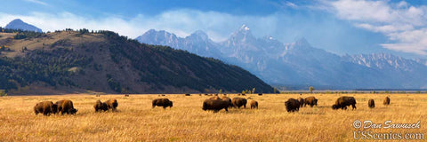Buffalo grazing in Grand Teton National Park near Jackson Hole, Wyoming