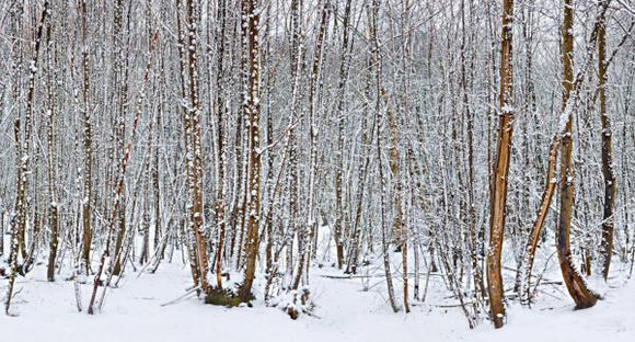 knock wood trees in the snow