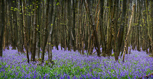 bluebells signed canvas print