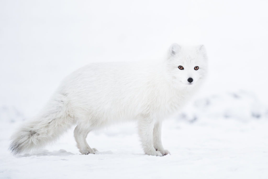 Together for Nature: The Arctic Fox Initiative