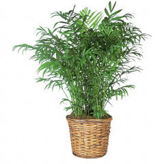 Buy Parlor Palm