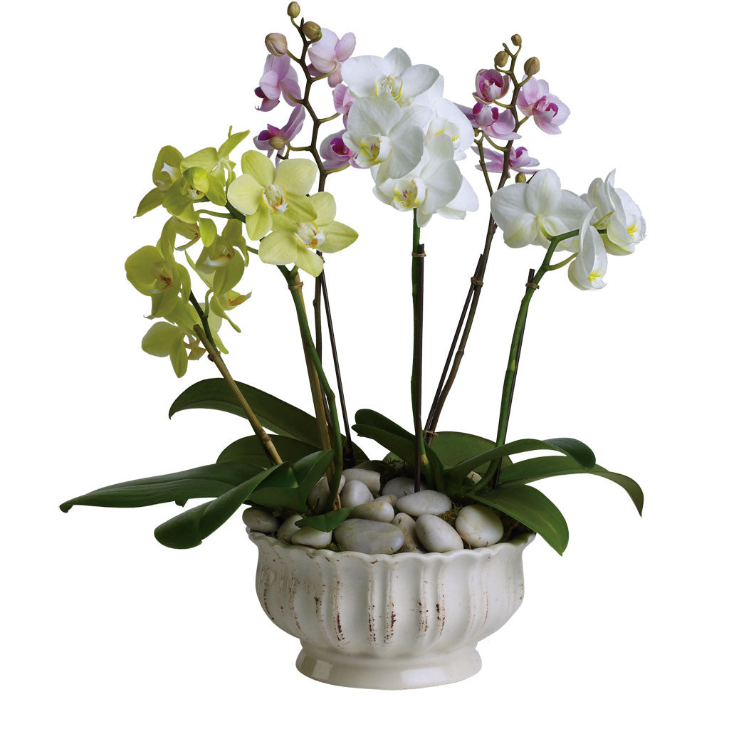 (display image: Regal Orchids)