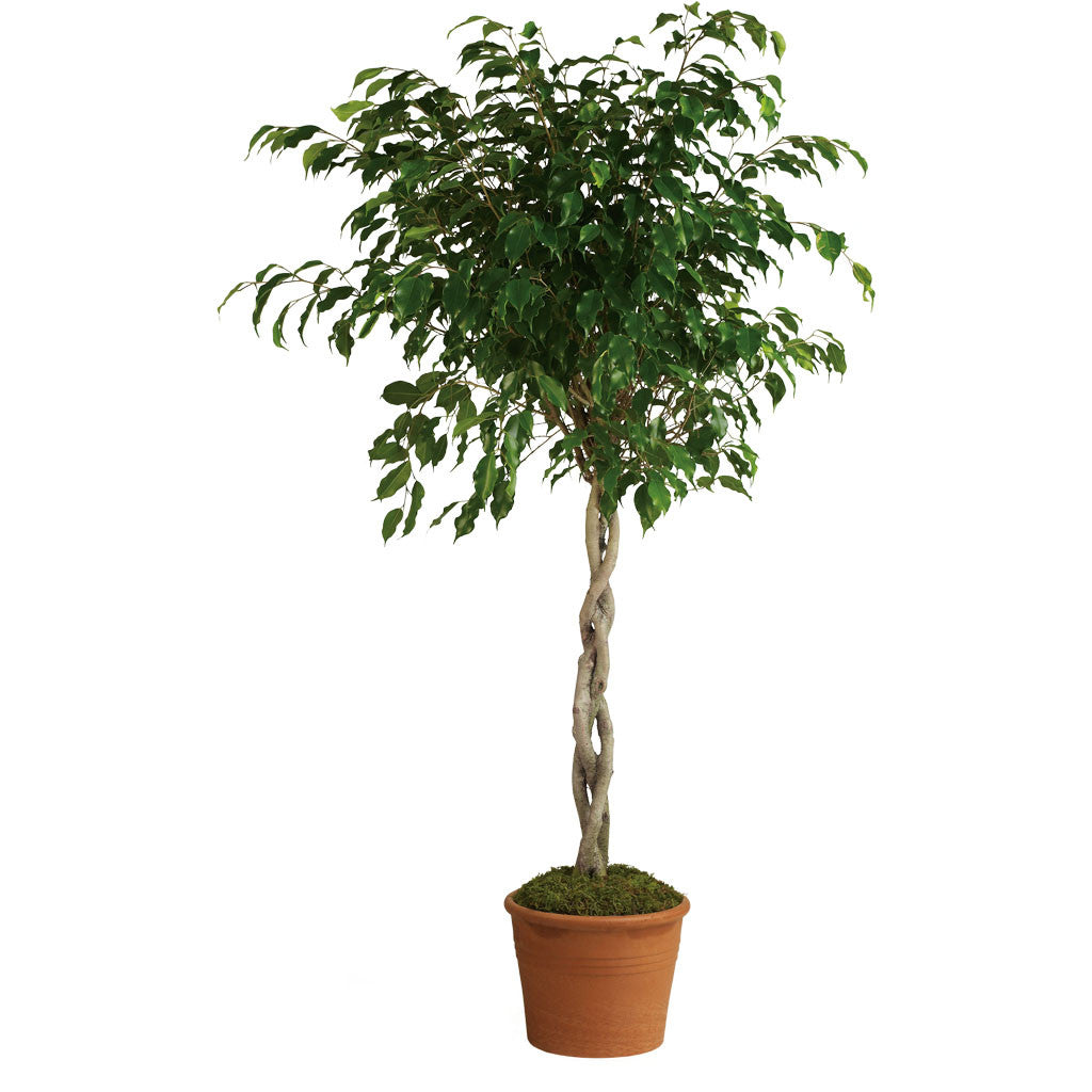 (display image: Towering Ficus)