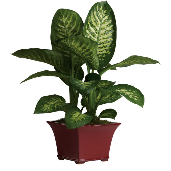 (display image: Delightful Dieffenbachia)