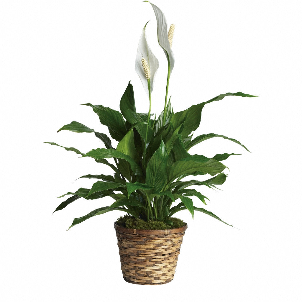 (display image: Simply Elegant Spathiphyllum - Small)
