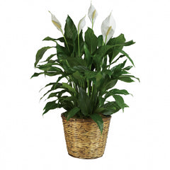 Buy Simply Elegant Spathiphyllum - Large