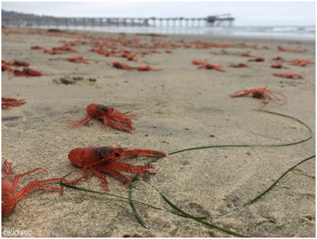 Tuna Crabs on California Beaches