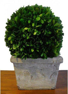 Mills Floral Preserved Boxwood Ball in 11-inch Square Pot Kendall and Everett