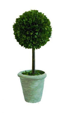 Mills Floral Small Preserved Single Ball on Stem Boxwood Topiary Set Kendall and Everett