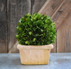 Mills Floral Preserved Boxwood Ball in 8-inch Square Pot