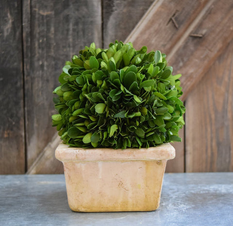 Image of Mills Floral Preserved Boxwood Ball in 8-inch Square Pot