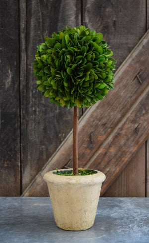 Mills Floral Small Preserved Single Ball on Stem Boxwood Topiary