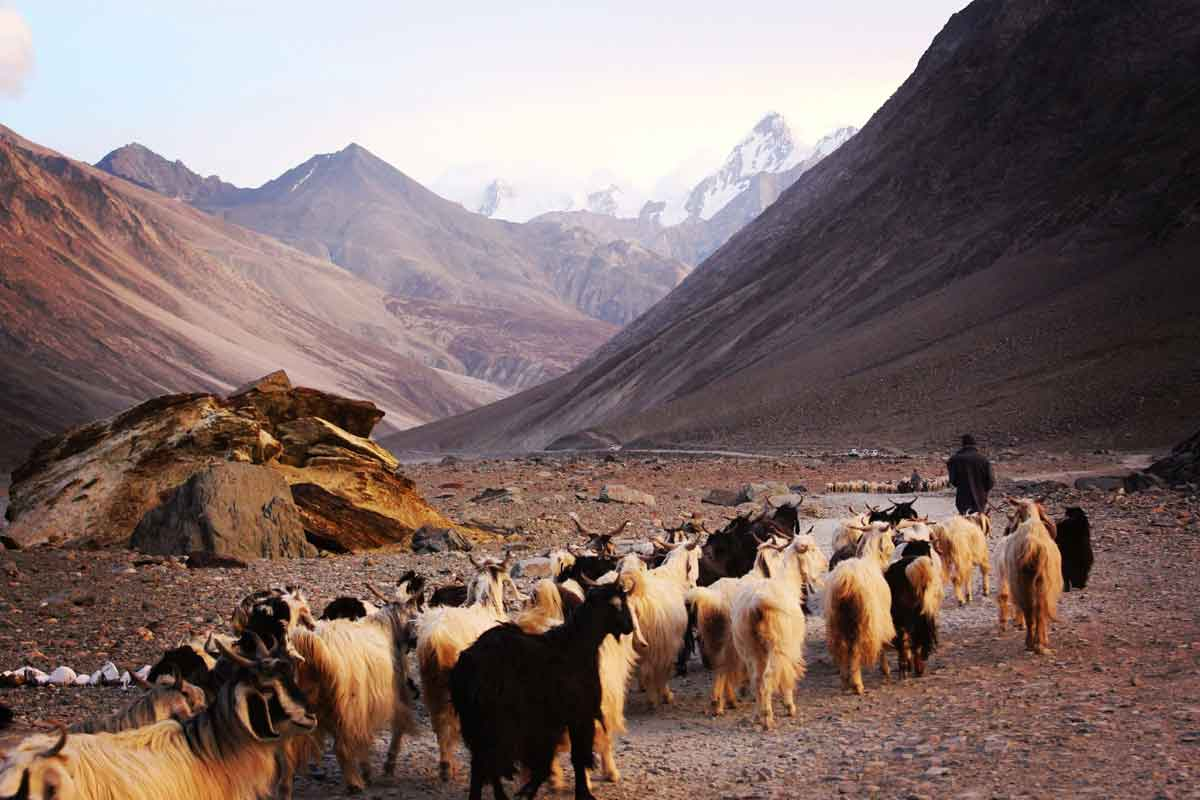 Where can cashmere goats be found?