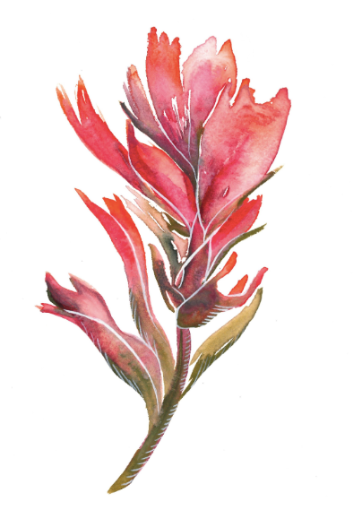 Indian Paintbrush III 5x7 Art Print