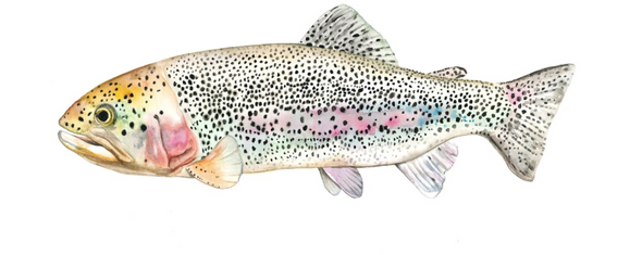 Rainbow Trout 7x11 Art Print