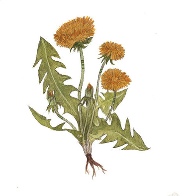 5x7 Art Print - Collector - Dandelions