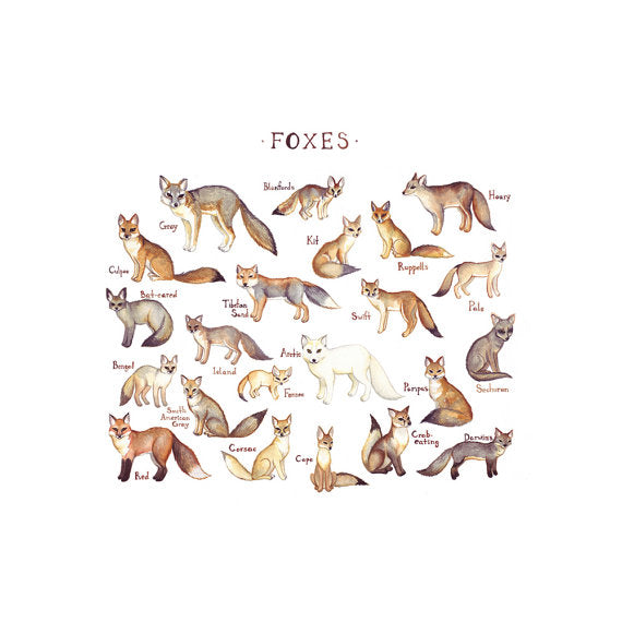 Foxes of the World 13x19 Print