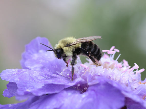 Bumble Bee on Pincushion Flower