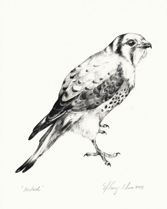Kestrel Print 11x14 // by Hilary Ann Love Glass