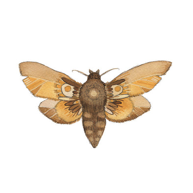 5x7 Art Print: Collector: Moth 6