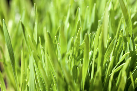 reasons why you should drink wheatgrass juice