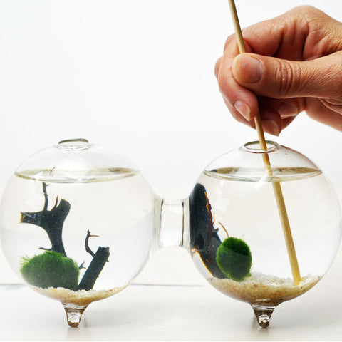 Double Sphere// Marimo Aquatic Terrarium