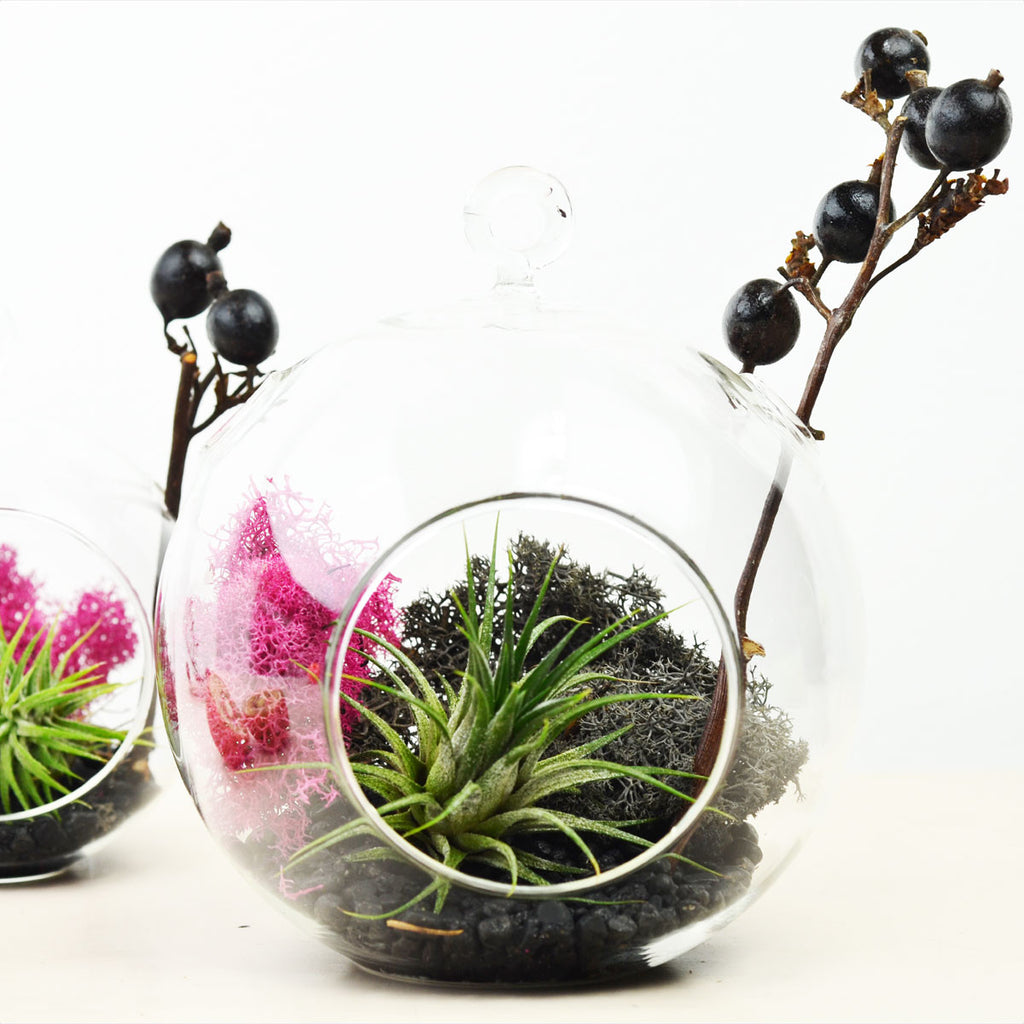 Blackberry// Air Plant Terrarium