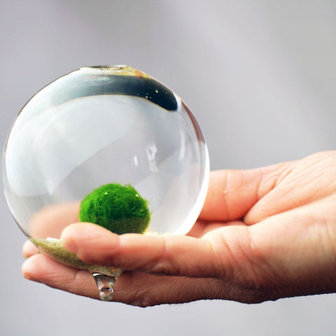 Miniature Terrarium// Marimo// Single Sphere