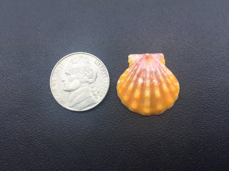 0567 Single High Quality Orange Sunrise Shell