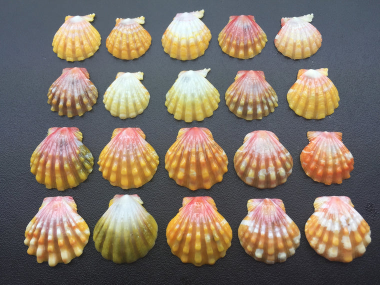 0391 Sunrise Shells Lot 20 Shells Of High Quality Popular Sizes And Colors