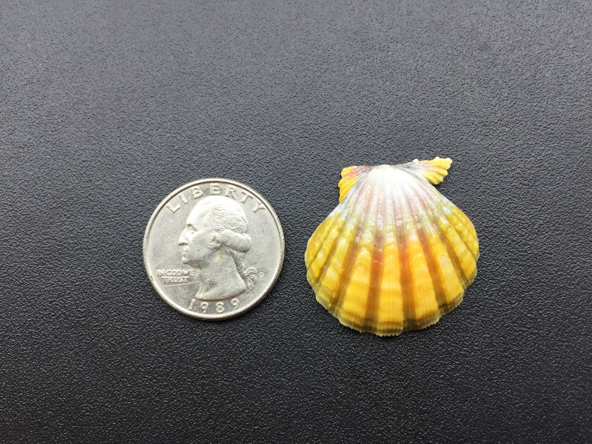 0630 Single Yellow Sunrise Shell