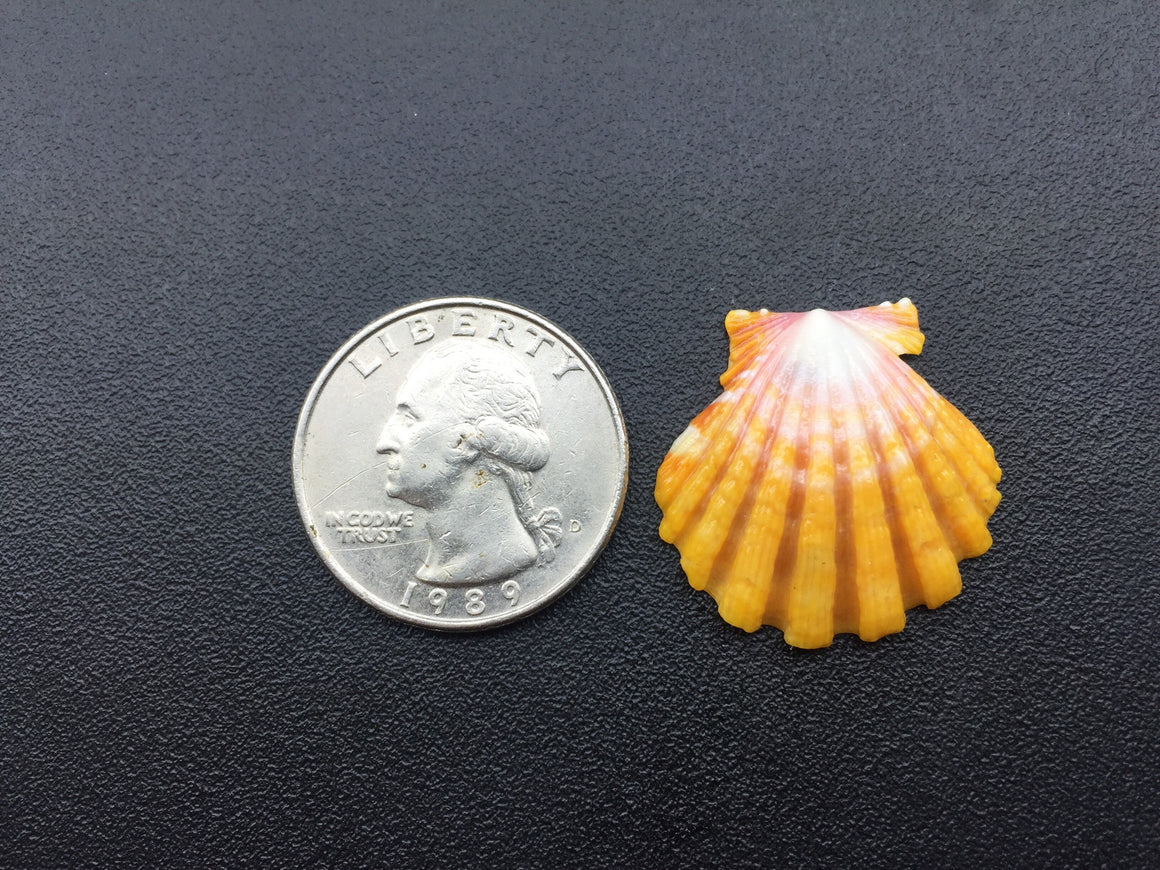 0644 Single High Quality Yellow Sunrise Shell
