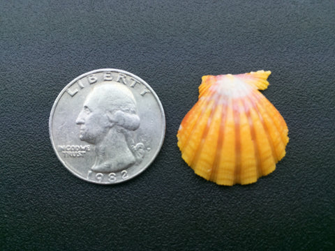 0471 Single Yellow Sunrise Shell Of Collector quality