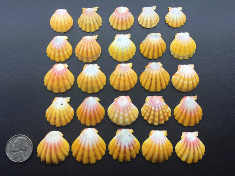 0543 Lot Of 25 Of The Most Beautiful High Grade Sunrise Shells From North Shore Oahu