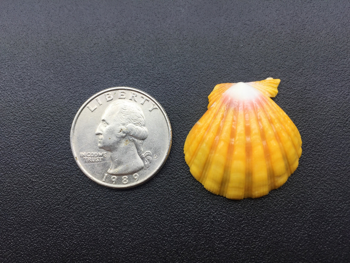0658 Single Vibrant Yellow Sunrise Shell