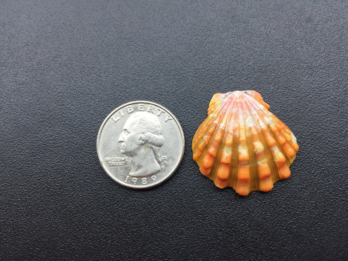 0623 Single Dark Red Sunrise Shell With Cool Bumps