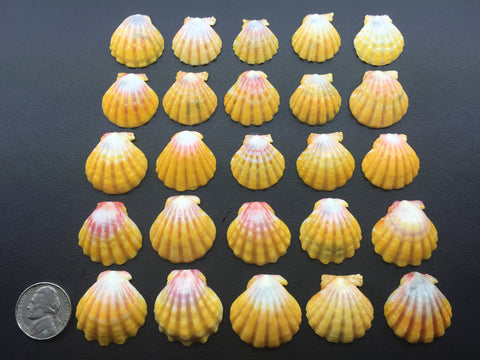 0542 Lot Of 25 Of The Most Beautiful High Grade Sunrise Shells From North Shore Oahu