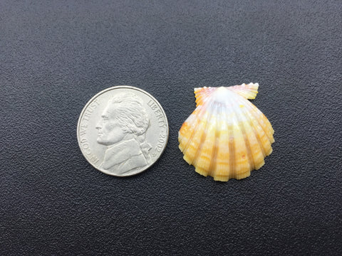 0641 Single Yellow Sunrise Shell Of High Quality