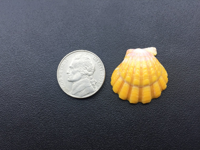 0669 Single Double Hump Yellow Sunrise Shell