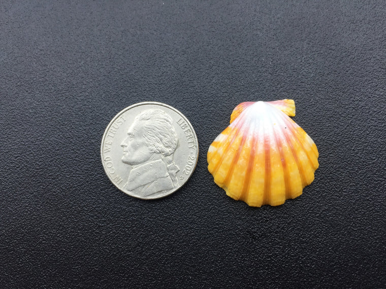 0642 Single White Little Pink And Yellow Sunrise Shell