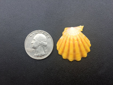 0383  Single Yellow Sunrise Shell