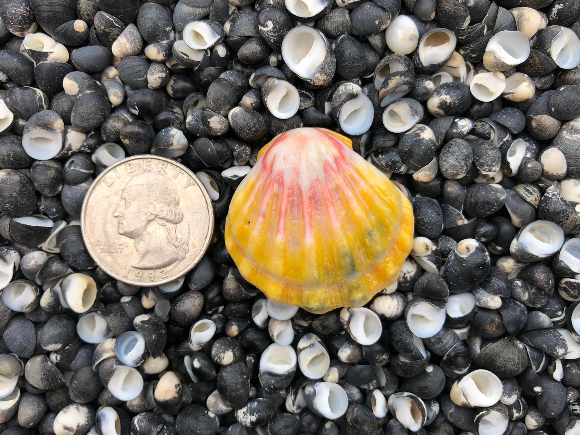 1498 Single Sunrise Shell