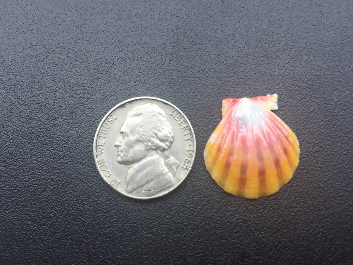 0373  Single Pinkish Yellow Sunrise Shell