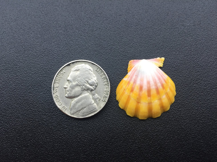 0454 Single White Pink And Yellow Sunrise Shell