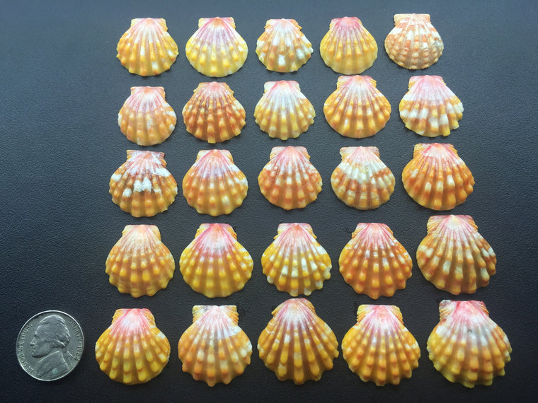 0541 Lot Of 25 Of The Most Beautiful High Grade Sunrise Shells From North Shore Oahu