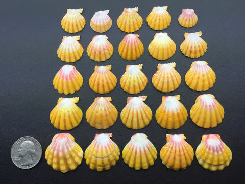 0549 Lot Of 25 Of The Most Beautiful High Grade Sunrise Shells From North Shore Oahu