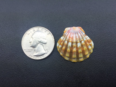 0588 Single Perfect High Quality rare And Unique Sunrise Shell